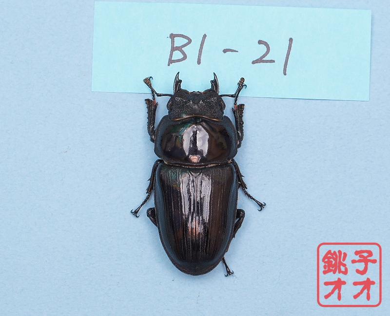 オオクワガタ成虫 54ミリ ♀単品 18年羽化能勢YG血統 ヤチクワ氏ブリード個体 yck1903031124