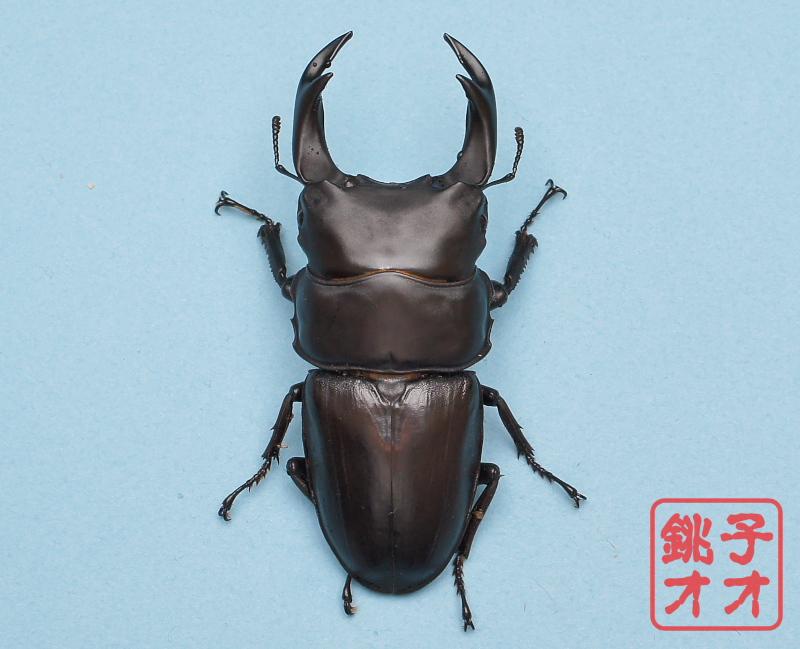 【銚子YG】能勢YG血統オオクワガタ83ミリペアyg1804121008
