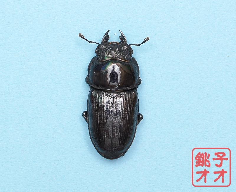 オオクワガタ成虫 50.5mm ♀単品 18年羽化新成虫能勢YG血統 銚子オオブリード個体 yg1810291659