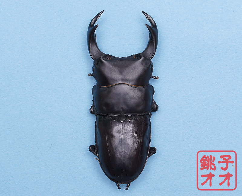 オオクワガタ成虫 78ミリ♂ 49.5ミリ♀2頭 18年羽化能勢YG血統 銚子オオブリード個体 yg1901301109