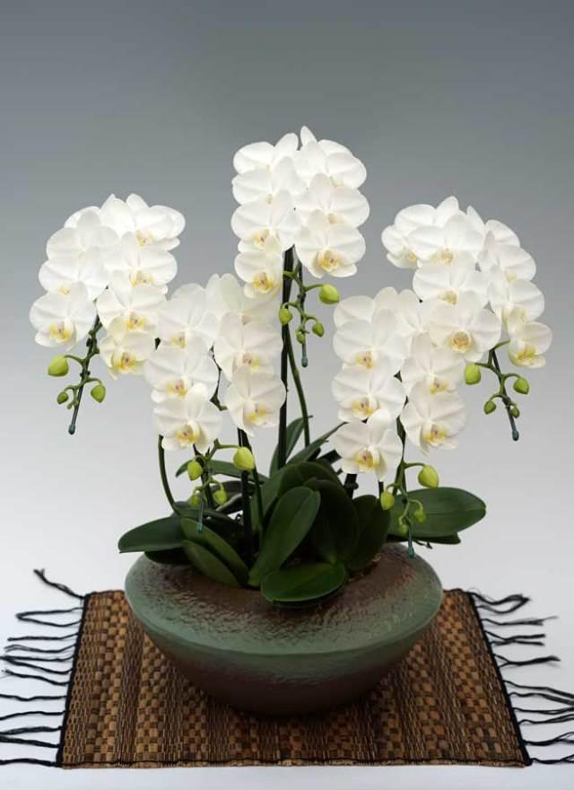 ミディ胡蝶蘭アマビリス 5本立 (まどか)