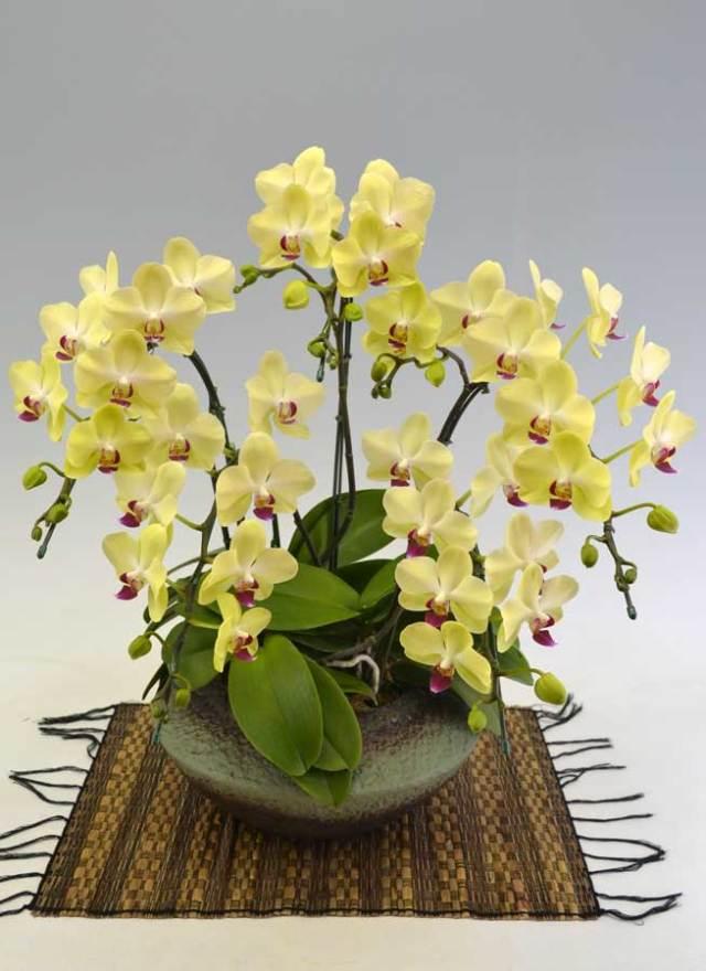 ミディ胡蝶蘭黄色 5本立 (まどか)