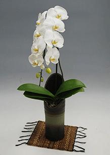 和鉢大輪胡蝶蘭 ホワイト かぐや