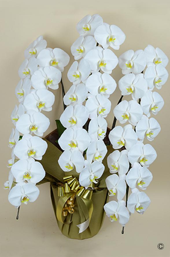 大輪胡蝶蘭 ホワイト 3本立 42輪程度