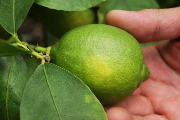 【無農薬レモン 1kg  限定 (無化学肥料/残留農薬検査200項目不検出) 】