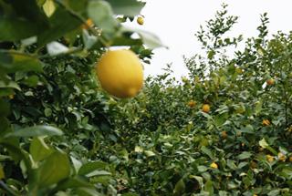無化学肥料により露地栽培されている瀬戸田レモン