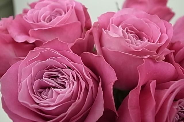 火曜・土曜お届け お届け日の3日前までご注文でお届け バラ(ライトピンク)スイートアバランチェ 切り花60センチ前後 1束10本