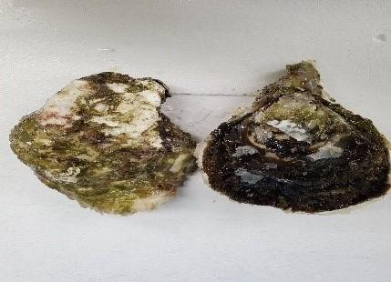 五島列島 岩牡蠣S(岩牡蠣)/要冷蔵  産地:長崎県五島列島   *画像は2個ですが、価格は1個の値段です