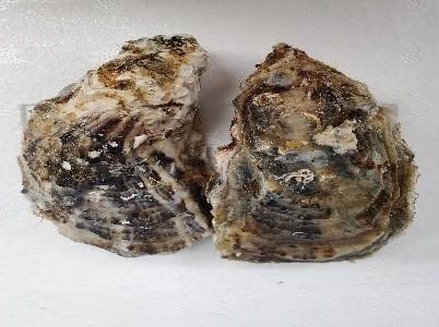 マルえもんM(真牡蠣)/要冷蔵x1個  産地:北海道厚岸町   *画像は2個ですが、価格は1個の値段です