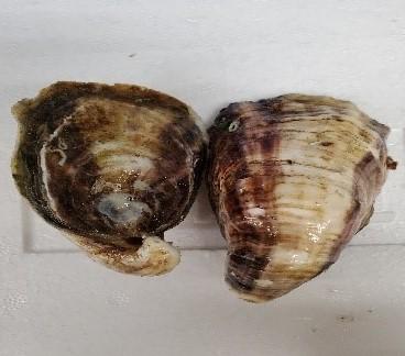 大河牡蠣(真牡蠣)/要冷蔵x1個  産地:兵庫県赤穂市   *画像は2個ですが、価格は1個の値段です