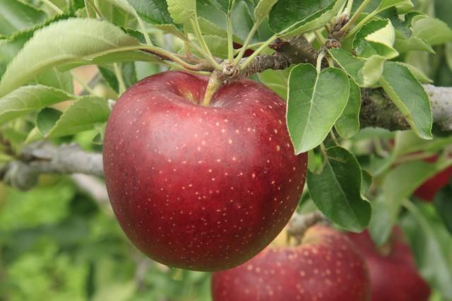 りんご今週のおすすめ品(長野産など)