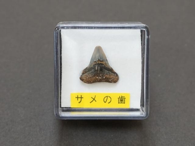サメの歯1
