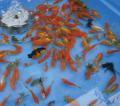 金魚すくい用フルセット(レンタル)