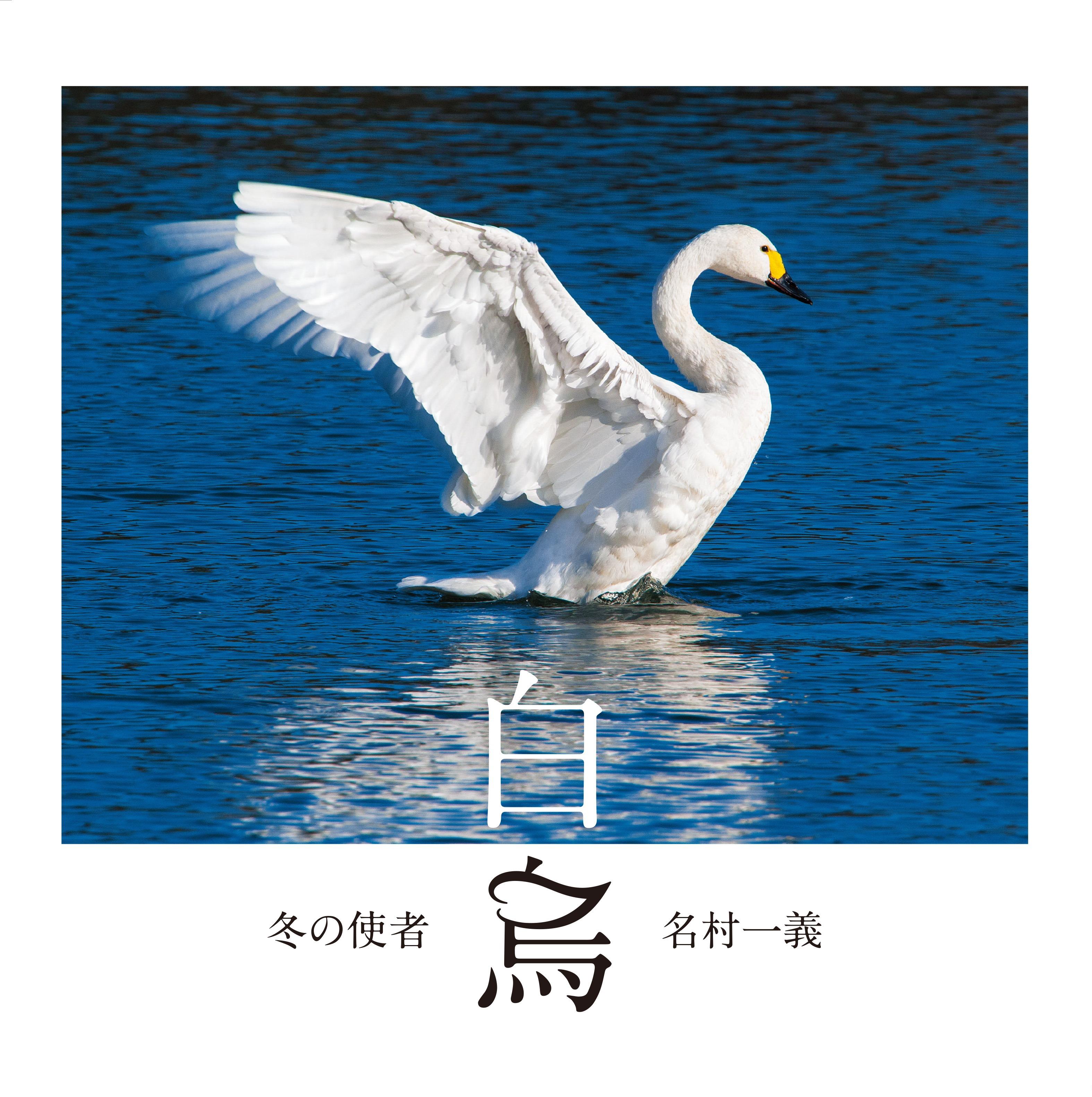 冬の使者 白鳥