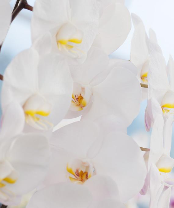 プレミアム・5本立ホワイト大輪胡蝶蘭