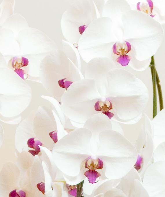 プレミアム・5本立ホワイト・レッド大輪胡蝶蘭