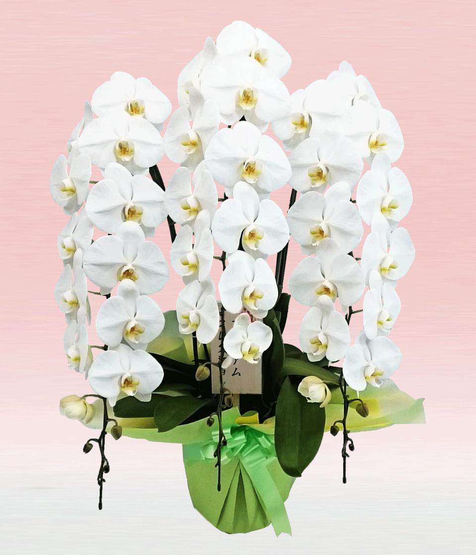 プレミアム・3本立ホワイト大輪胡蝶蘭