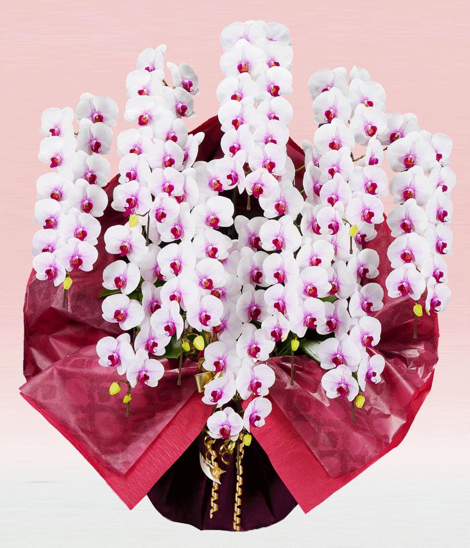プレミアム・10本立ホワイト・レッド大輪胡蝶蘭