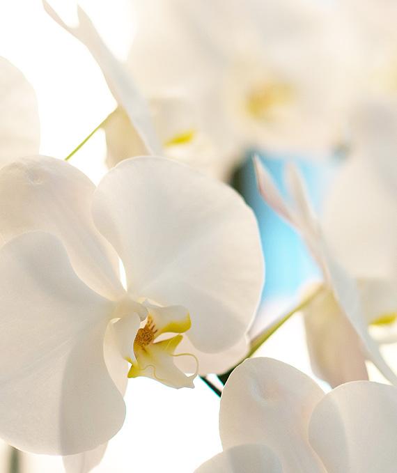 3本立ホワイト大輪胡蝶蘭