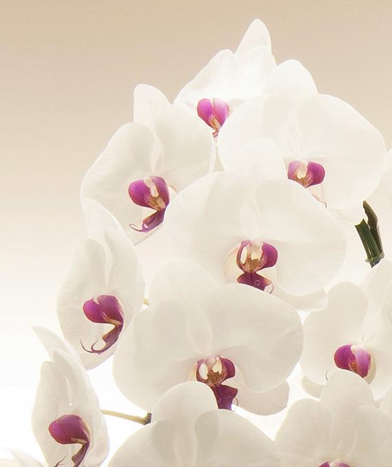 プレミアム・3本立ホワイト・レッド大輪胡蝶蘭