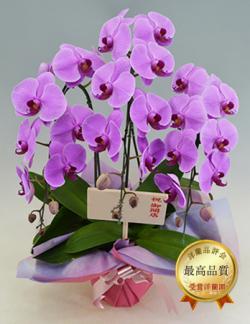 3本立ピンク大輪胡蝶蘭