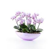 カララ寄せ植え ピンク系10本立ち(ピンク舟形鉢)(4RP1005)