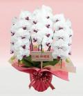 3本立ホワイト・レッド大輪胡蝶蘭