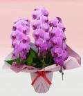 プレミアム・3本立ピンク大輪胡蝶蘭