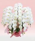 5本立ホワイト大輪胡蝶蘭