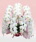 プレミアム・7本立ホワイト大輪胡蝶蘭