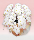 プレミアム・10本立ホワイト大輪胡蝶蘭