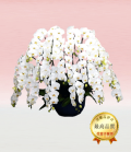 プレミアム・15本立ホワイト大輪胡蝶蘭