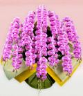 プレミアム・15本立ピンク大輪胡蝶蘭