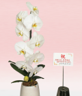 ホワイト大輪胡蝶蘭 ティアドロップ