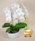 ホワイトミディ胡蝶蘭ペーパームーン