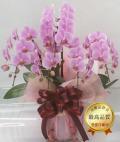 ピンク系ミディ胡蝶蘭・ゴージャスサイズ(2PP0509)(現在、つぼみが多めとなります。)