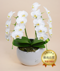 ホワイトミディ胡蝶蘭フルムーン