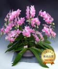 和鉢まどか・7本立シングルカラーミディ胡蝶蘭