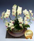 和鉢まどか・5本立シングルカラーミディ胡蝶蘭