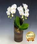 和鉢かぐやミディ胡蝶蘭