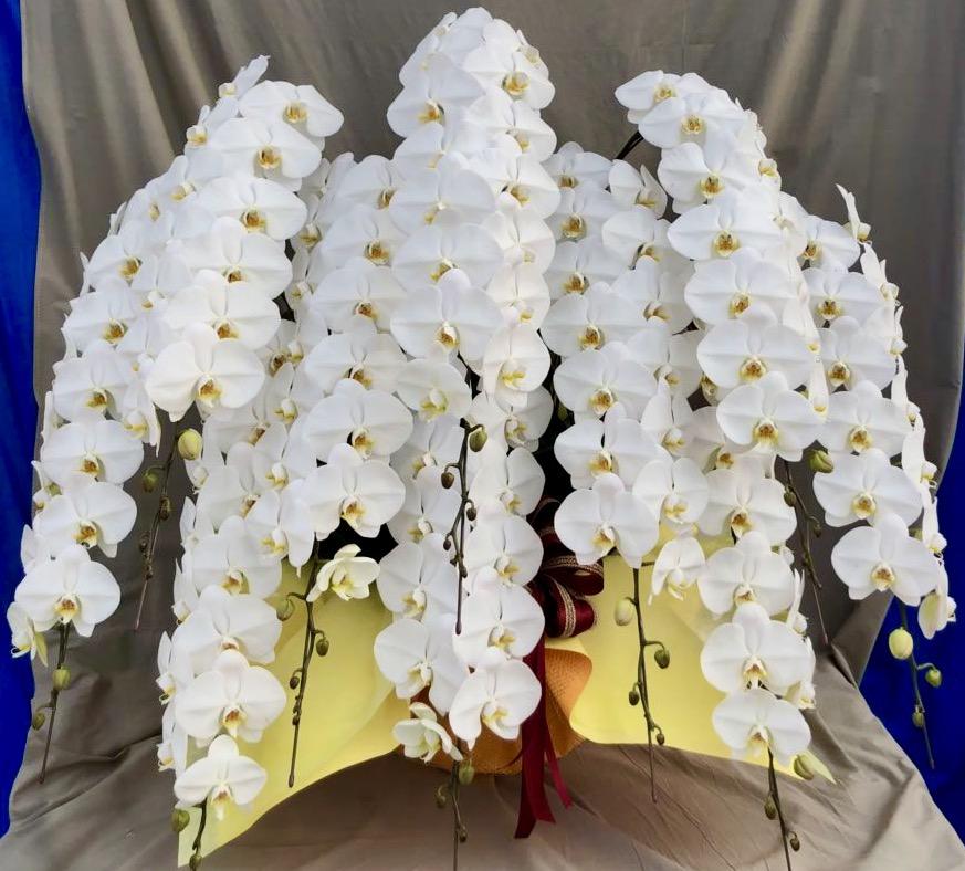 胡蝶蘭10本立 スーペリア