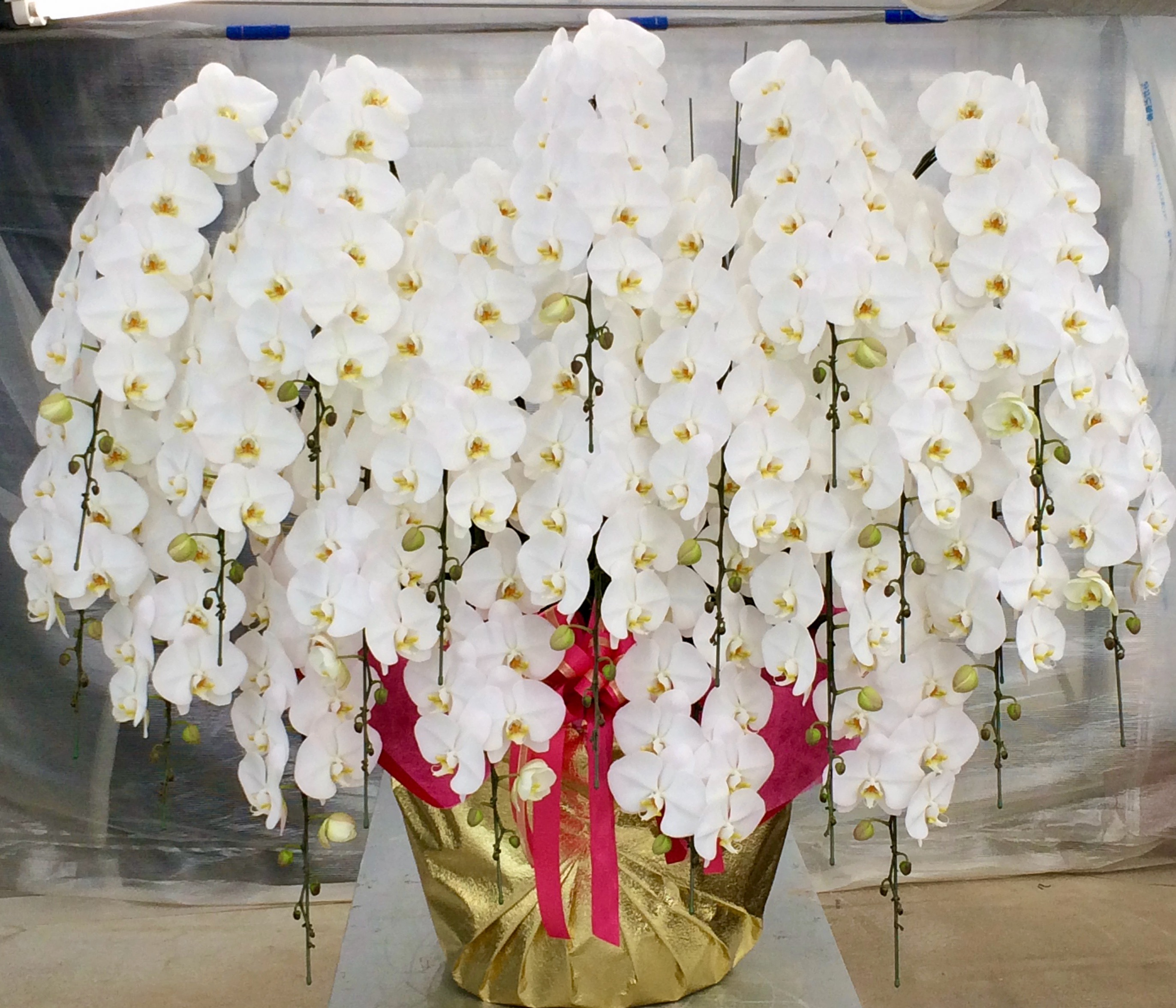 胡蝶蘭20本立 プレミアム
