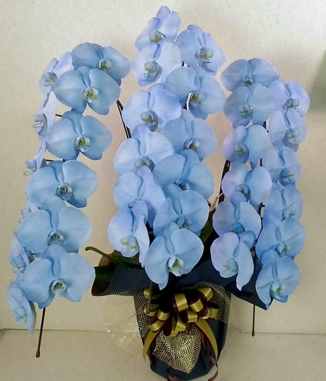 胡蝶蘭3本立 カラフルカラー デラックス (外側染色・10色セレクト)