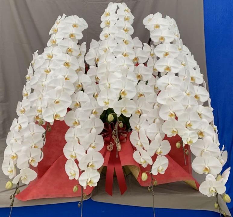 胡蝶蘭7本立 プレミアム