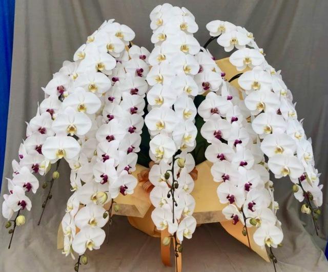 胡蝶蘭10本立 プレミアム