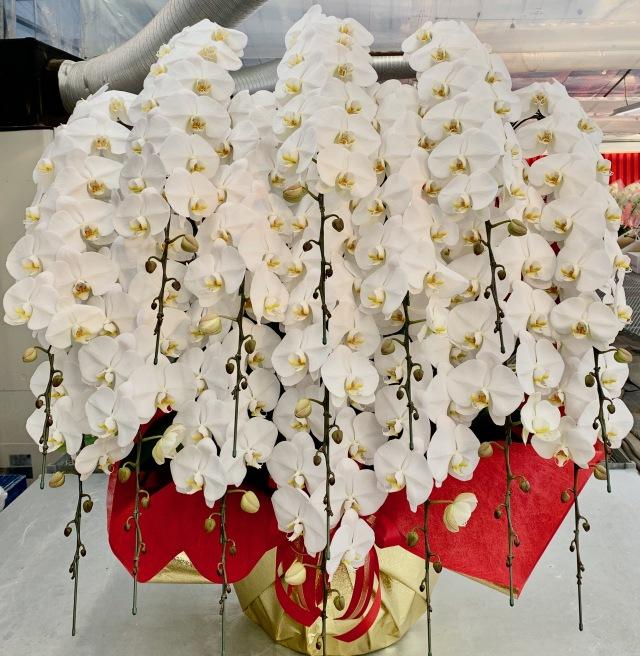 胡蝶蘭15本立 プレミアム