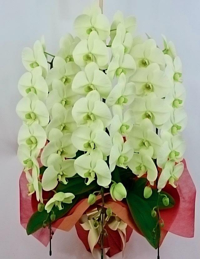 胡蝶蘭3本立 エメラルド色(天然色) ロング