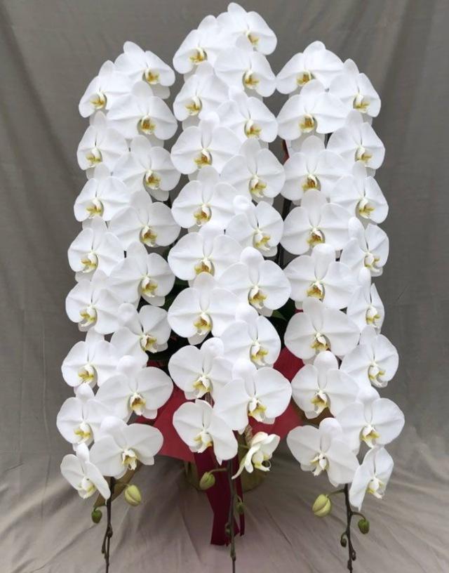 国分寺洋蘭園の胡蝶蘭3本立(60輪クラス)