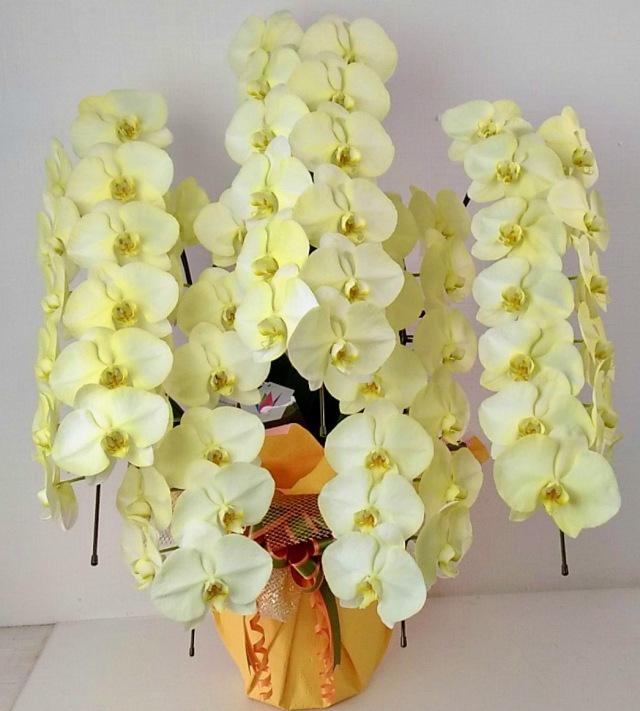胡蝶蘭5本立 カラフルカラー デラックス (外側染色・10色セレクト)