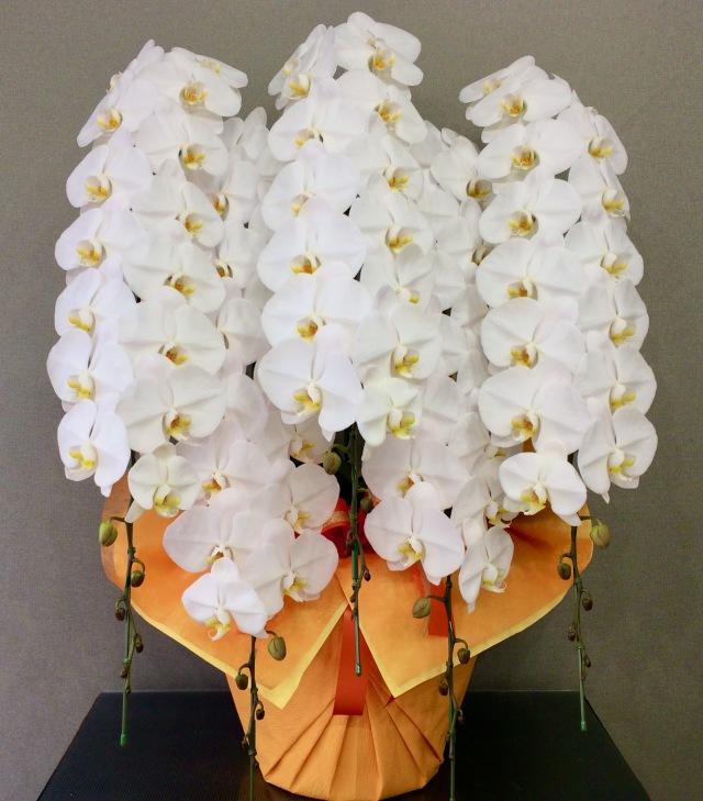 胡蝶蘭5本立 プレミアム